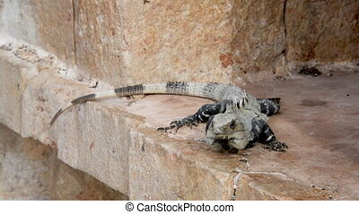 Iguana on Ruins - Iguana on Mayan ruins in Uxmal, Mexico