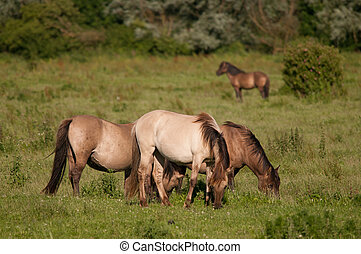 Konik Horses in the Oostvaardersplassen - Konik Horses...