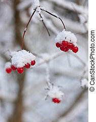 winter arrowwood - Branches of a arrowwood with berries...