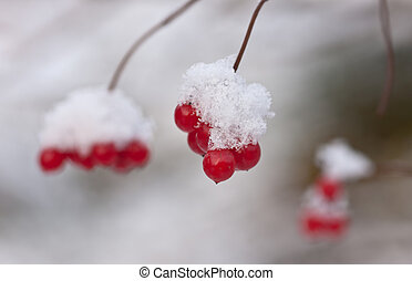 arrowwood under snow - Branches of a arrowwood with berries...