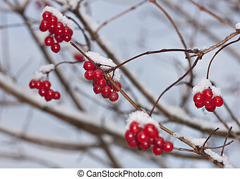 winter ripe arrowwood - Branches of a arrowwood with berries...