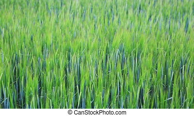 Green barley field on sunny day. - Close-up of fields of...
