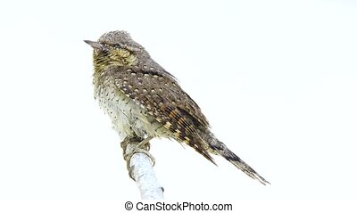 Eurasian wryneck (Jynx torquilla) isolated on a white...