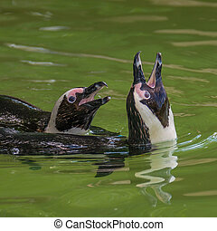 Funny African penguins fighting at close up, adults