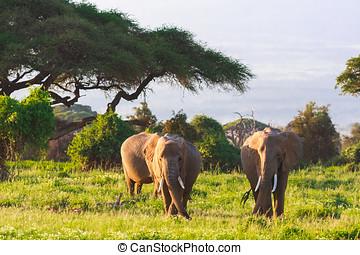 amboseli, 非洲, 肯尼亞, 家庭, 大象