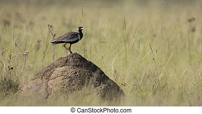 Northern Black Korhaan standing on an ant nest