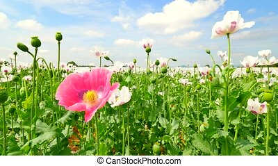 Poppies on sunny day. Alone red pink poppy flower hybrid...