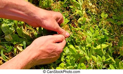 Man hands harvest sweet peas, opening green pea pods,...