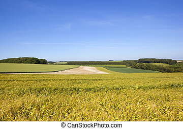 yorkshire wolds barley and wheat - golden ripening barley...