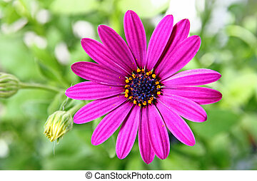 Flower of African daisy isolated against the softly muted...