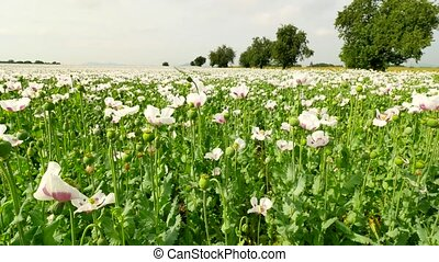 Poor harvest of poppy seed. View over white poppy field with...