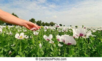 Hand tears off the petals of the white poppy. Fingers yank...