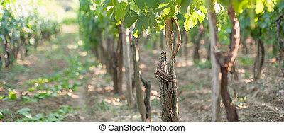View of the vineyards of Vrbnik, Krk Island, Croatia