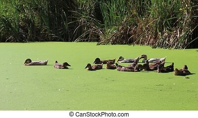 ducks swimming in a swamp with duckweed