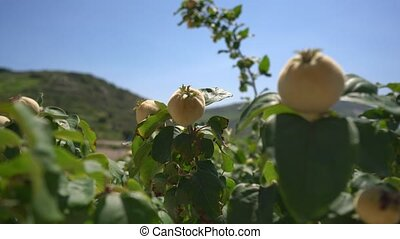 Ripe fresh fruit on brunches in park on Cyprus - Ripe fresh...