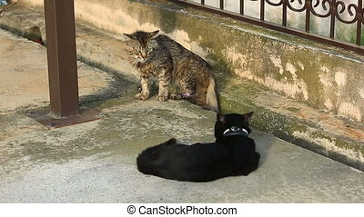 Home cats in collars, go outside to walk, preparing for a...