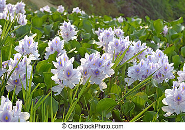 Gentle violet color Lotus flowers in full blossom on River...