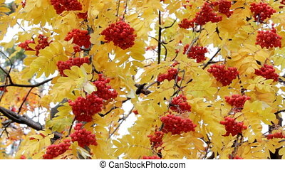 red ashberry - autumn
