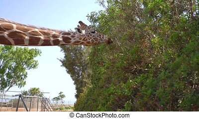 Giraffe in a park on Cyprus island - Giraffe walking in a...