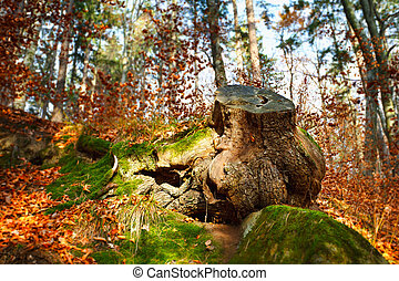 Big stump with moss in a beech forest