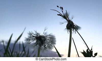 dandelions against the backdrop of the beautiful sky with...