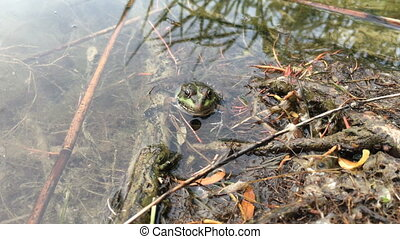 the Green Frog sitting in a swamp near a wooden wood - the...
