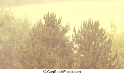 Heavy rain comes. View of falling drops in pine trees...