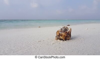 v07551 Maldives white sandy beach hermit crab on sunny...