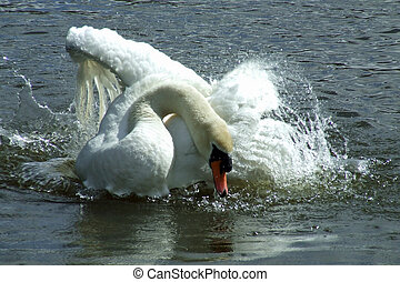 Mute Swan making a splash