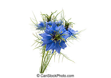 NIGELLA on white background