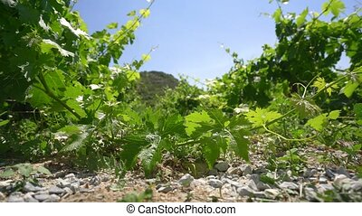 Vineyard on Cyprus island video on a hot sunny day -...