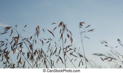 Evening field after the rain - Grass in the evening field at...