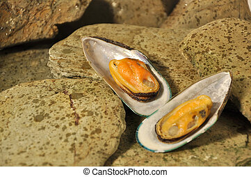 A pair of female New Zealand Greenshell Mussels with the...