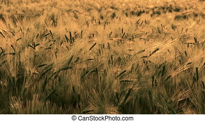 Barley field blowing in the wind at sunset or sunrise - Pull...