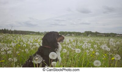 A dog running at the meadow - Dolly shot of a dog - shepherd...
