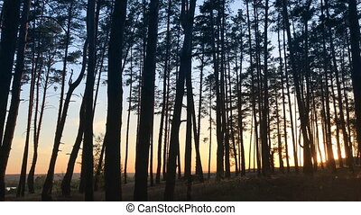 beautiful trees with high pillars in the forest against the...