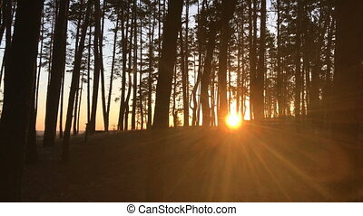 the bright sun rays penetrate the trees in the forest - the...