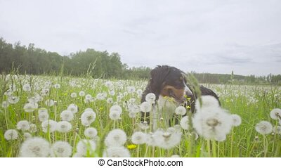 A dog walking at the meadow - A dog - shepherd bernese...