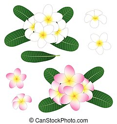 White and Pink Plumeria, Frangipani isolated on White Background. Vector Illustration