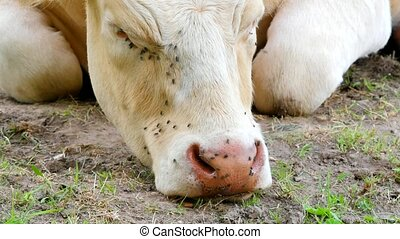Detail of white cow head. Annoying flies sit or run on the...