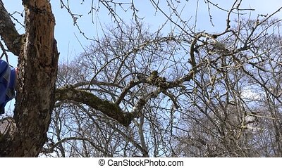 professional gardener climb up into fruit tree, sit on branch and prune twigs