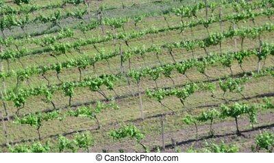 Aerial view on vineyard. Low DOF.
