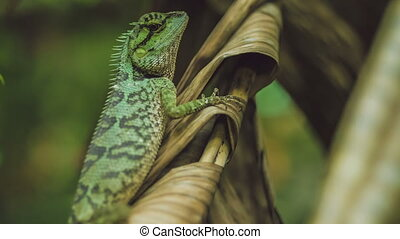 Lizard with stump, Calotes emma on Banan Leaf, Krabi, Thailand.
