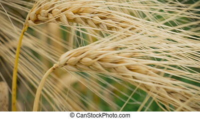 Close-up of two Ripe Wheat Straws Waving in Wind. Deep Green...