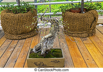 """Oriental hornbeam - Bonsai in the style of """"Straight and..."""