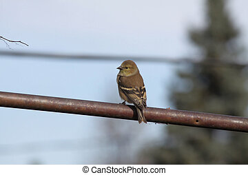 American Goldfinch (adult male non-