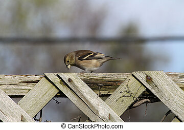 American Goldfinch (adult male non- - Non-breeding male...