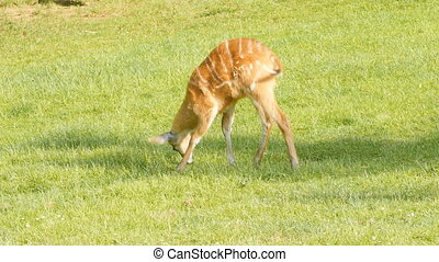 Roe deer eats grass on pasture