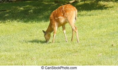 Roe deer eats grass