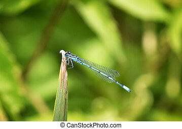 Common blue damselfly - The common damselfly resting on the...